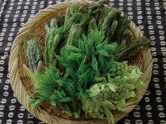 乗鞍の山菜