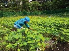 畑で収穫のお手伝いするおチビ