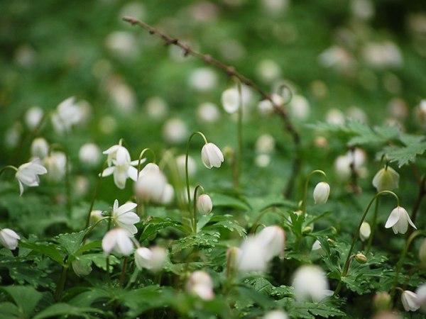 spring_ニリンソウ